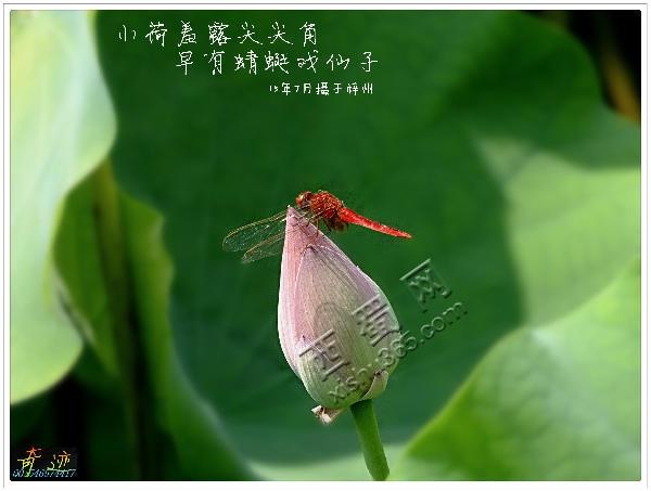 蜻蜓戏仙姑