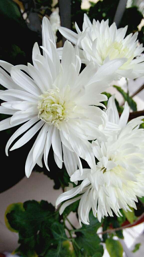 白菊花 1.jpg