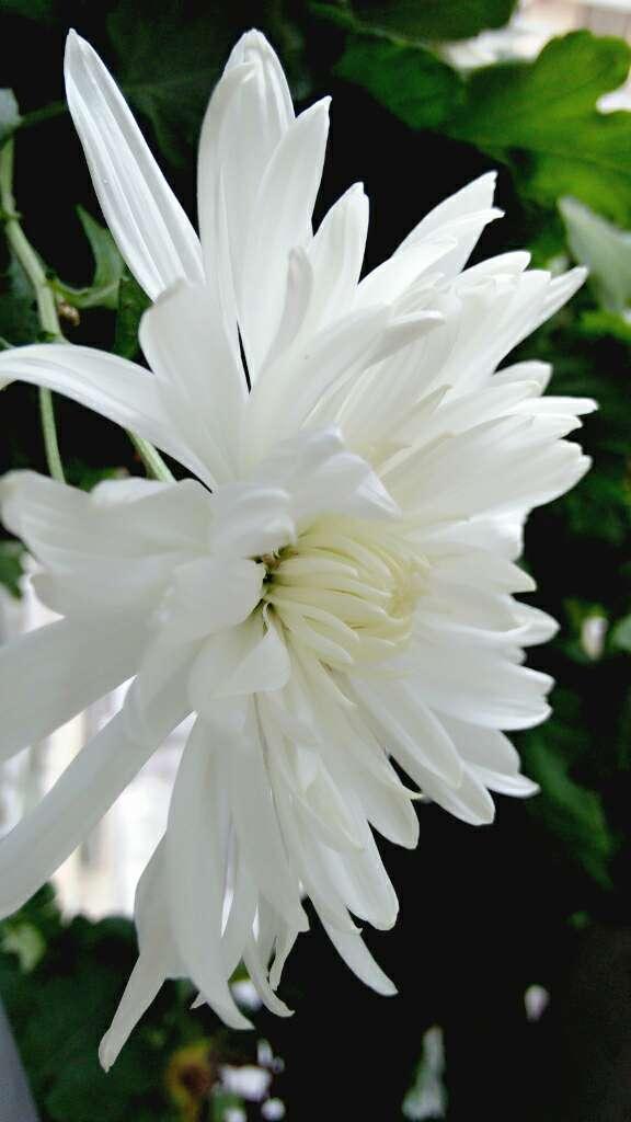 白菊花 2.jpg
